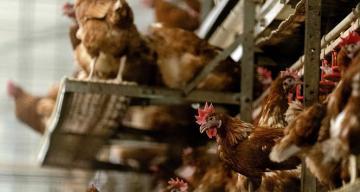 Japonya'da kuş gribi salgınında 5.8 milyon tavuk itlaf edildi