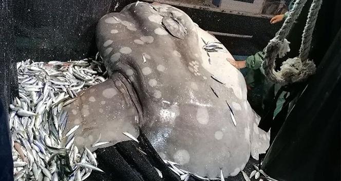 Akdeniz'de nadir görülen 'ay balığı' Adana'da ağlara takıldı