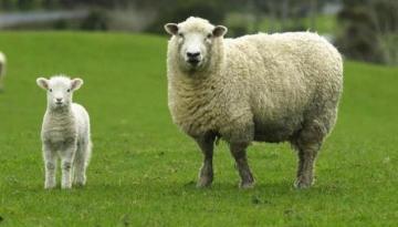 Çobana 100 tane koyun teslim eder